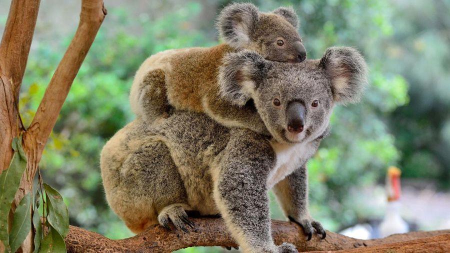 коала с детенышем на спине