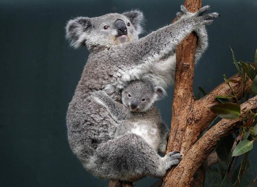 коала с подросшим детенышем
