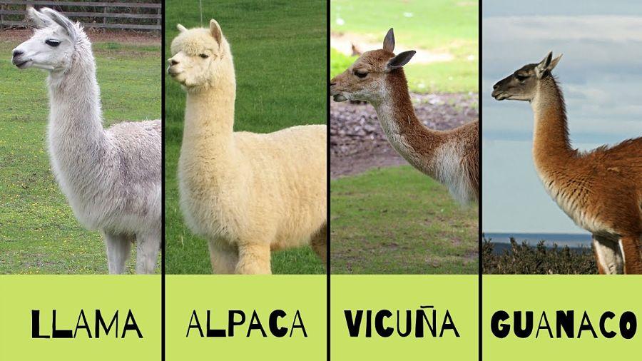 лама, альпака, гуанако и викунья