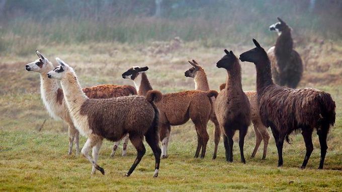 ламы стадо