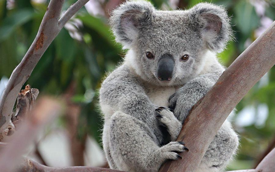 милая коала на ветке