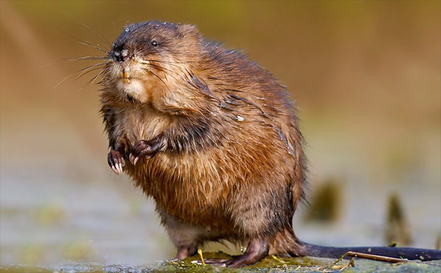 ондатра мускусная крыса фото