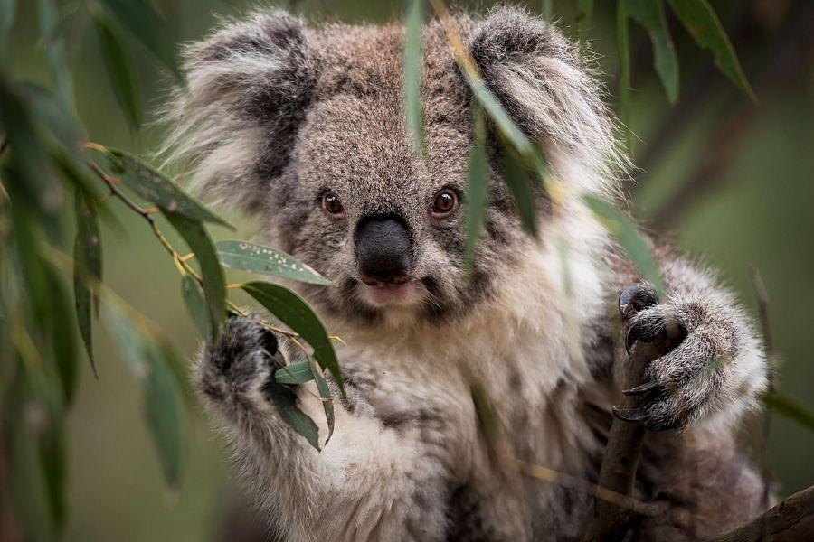 смешная коала в листве