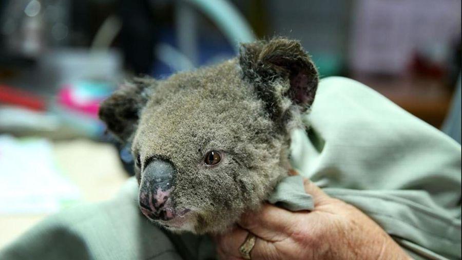 спасенная из пожара коала