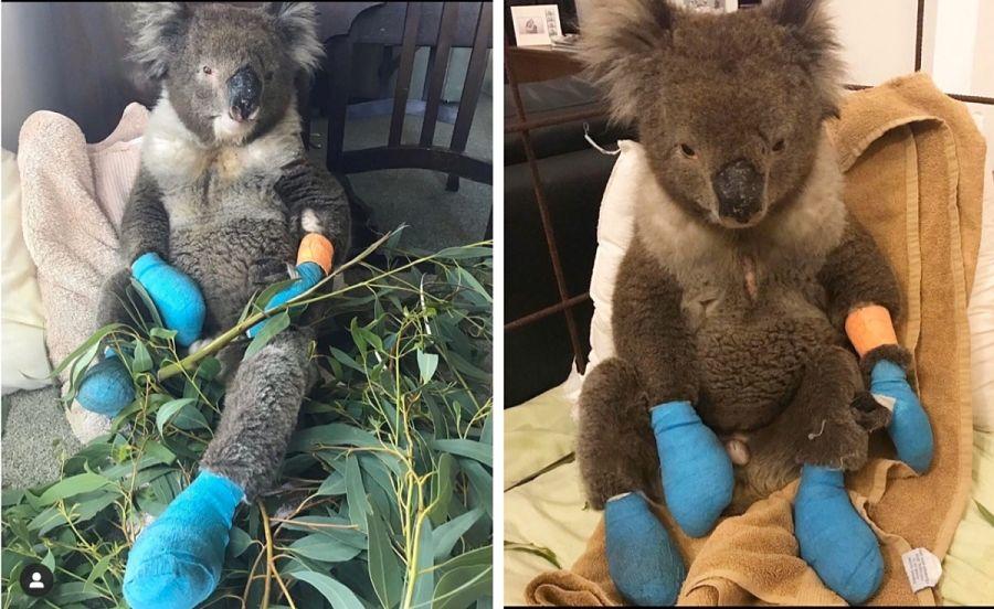 спасенные из пожара коалы