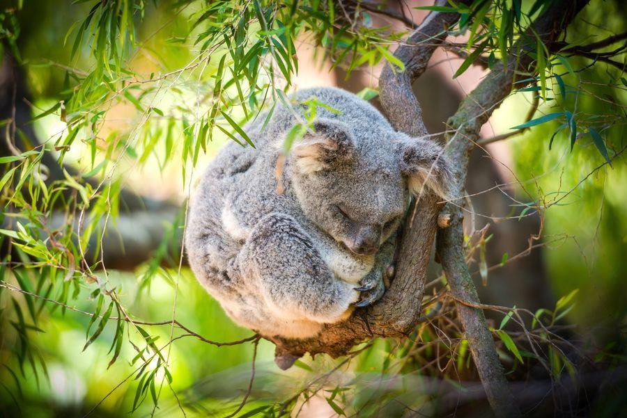 спящая на ветке коала свернулась клубочком