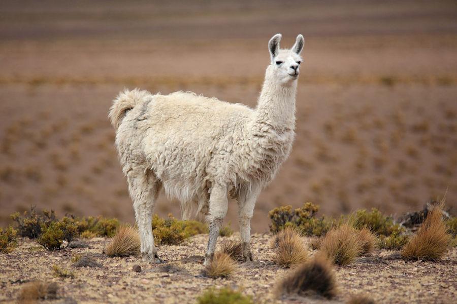 лама одомашненная