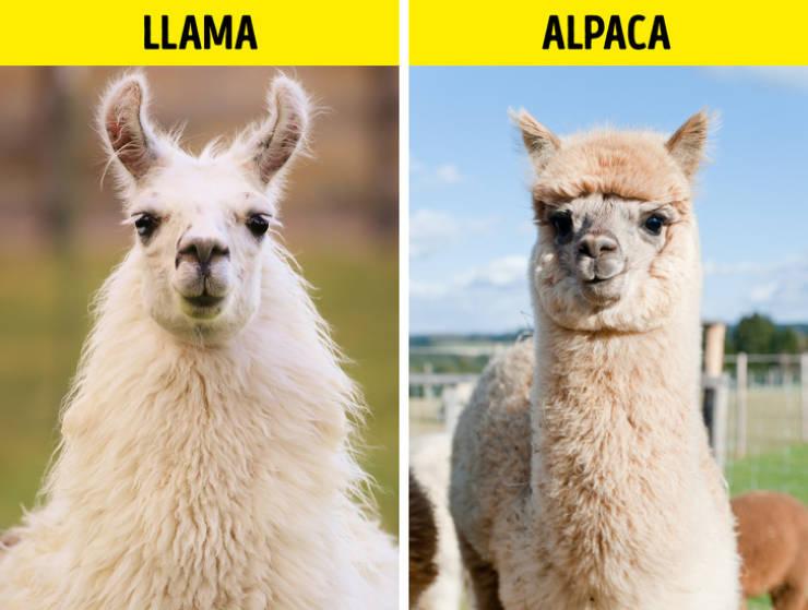 лама и альпака различия
