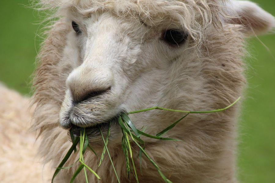 лама жует траву